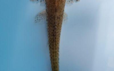 スプーンヘットロリカリア(リオ マナカシス)