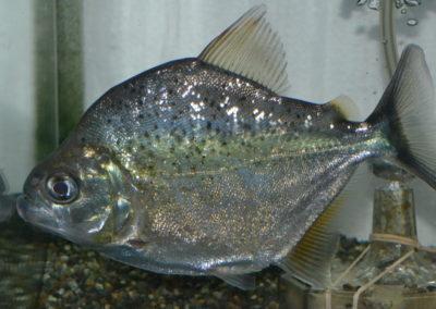 オニギリピラニア(リオ ピシリツゥーバ)ネグロ