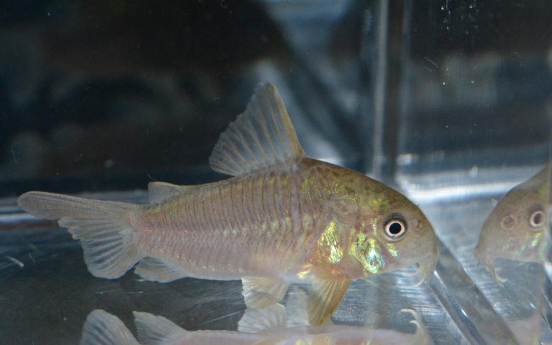 Cポリスティクタス(パラグアイ)